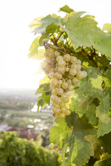 Germany, Bavaria, Volkach, green grapes in vineyard - FKF000764