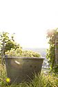 Germany, Bavaria, Volkach, harvested grapes in bucket - FKF000767