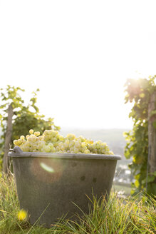 Germany, Bavaria, Volkach, harvested grapes in bucket - FKF000767