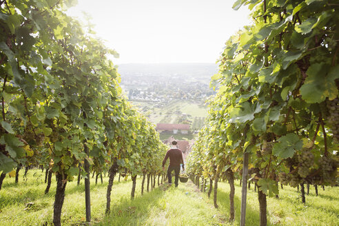 Germany, Bavaria, Volkach, man harvesting grapes in vineyard - FKF000778