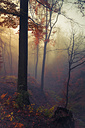 Germany, near Wuppertal, deciduous forest in autumn - DWI000278