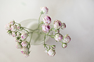 Twig of tea roses in front of white ground - ASCF000011
