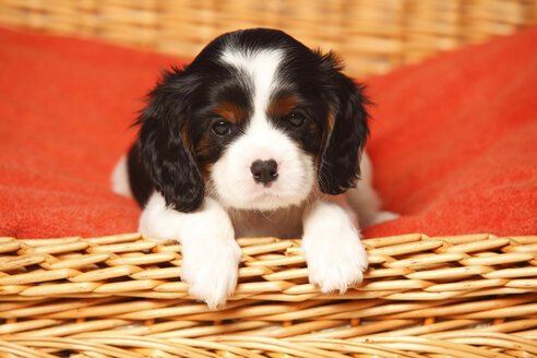 Portrait of Cavalier King Charles Spaniel puppy lying on red blanket in a dog basket - HTF000523