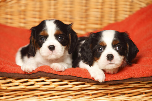Two Cavalier King Charles Spaniel puppies lying on red blanket in a dog basket - HTF000522