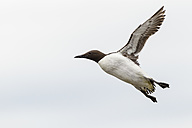 Great Britain, England, Northumberland, Farne Islands, Common Murre, Uria aalge, flying - SRF000817