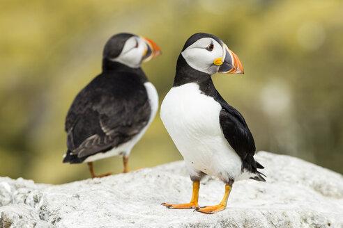 United Kingdom, England, Northumberland, Farne Islands, Atlantic puffins, Fratercula arctica - SRF000828