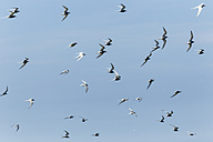United Kingdom, England, Northumberland, Farne Islands, Common terns, Sterna hirundo - SRF000848