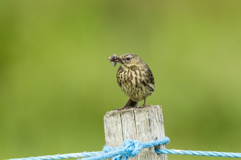 United Kingdom, England, Northumberland, Farne Islands, Meadow pipit, Anthus pratensis, with nest building material - SRF000850