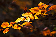 Germany, Saxony, autum leaves - JTF000596