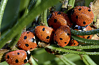 Wet seven-spotted ladybirds, Coccinella septempunctata, at sunlight - MJOF000876