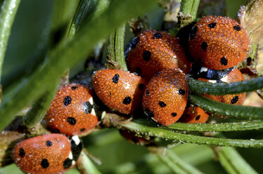 Wet seven-spotted ladybirds, Coccinella septempunctata, at sunlight - MJOF000876