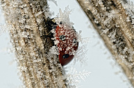 Seven-spotted ladybirds, Coccinella septempunctata, on a twig covered with frost - MJOF000886