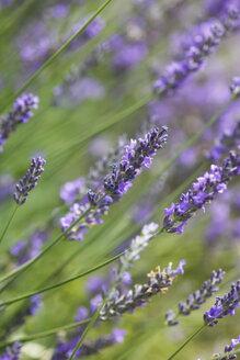 Lavender - JTF000601
