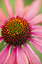 Pink coneflower, Echinacea, close-up - MYF000701