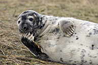 Grey seal, Halichoerus grypus - MJOF000888
