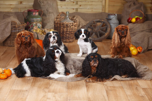 Six Cavalier King Charles Spaniels sitting  in front of peasant decoration - HTF000537