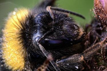 Portrait of bumblebee, Bombus, close-up - MJOF000894