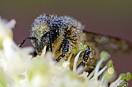 Wet honey bee, Apis, on a blossom - MJOF000896