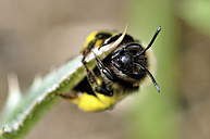 Portrait of solitary bee, Andrena - MJOF000899