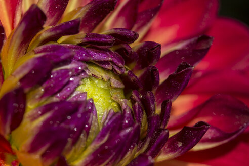 Part of multi-coloured blossom of Dahlia with water drops - MABF000266