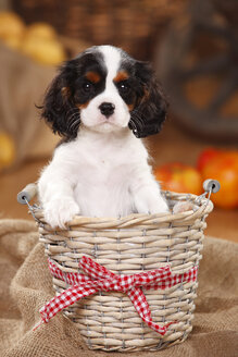 Cavalier King Charles Spaniel, puppy, sitting in a basket - HTF000545