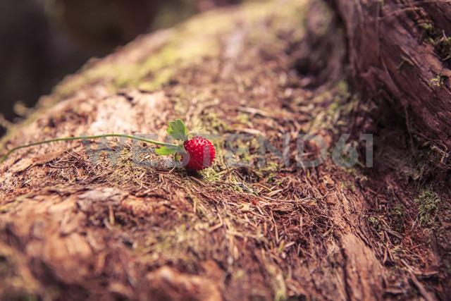 Portugal, Madeira, woodland strawberry, Fragaria vesca, growing on laurel tree, Laurus nobilis - VTF000353 - Val Thoermer/Westend61