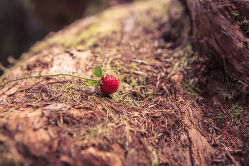 Portugal, Madeira, woodland strawberry, Fragaria vesca, growing on laurel tree, Laurus nobilis - VTF000353