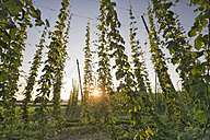 Germany, Baden-Wuerttemberg, Meckenbeuren, hop field at sunset - SH001746