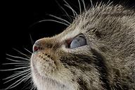 Profile of tabby kitten, Felis Silvestris Catus, in front of black background - MJOF000906