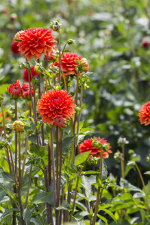 Close-up of red dahlia - MABF000277