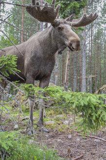 Sweden, Dalarna, Eurasian elk in forest - JBF000150