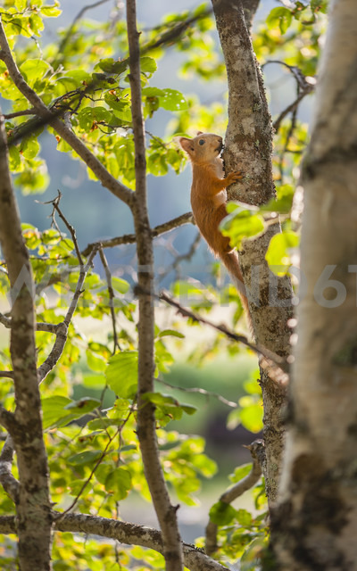Finland, Lapland, Northern Ostrobothnia, Oulanka National Park, red squirrel - JBF000159