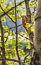 Finland, Lapland, Northern Ostrobothnia, Oulanka National Park, red squirrel - JBF000159