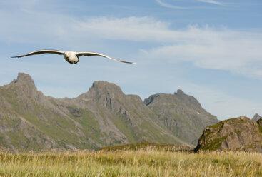 Norway, Nordland, Lofoten, Flakstad, flying herring gull - JBF000199