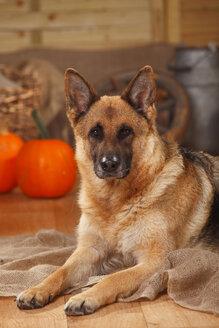 Portrait of German Shepherd lying in an autumnal decorated barn - HTF000569