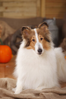 American Collie lying in an autumnal decorated barn - HTF000573
