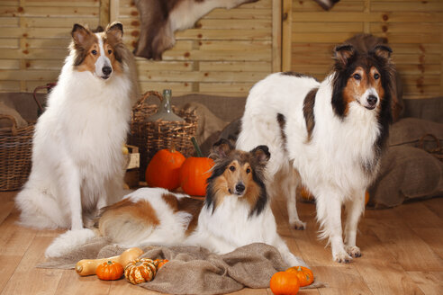 Three American Collies in an autumnal decorated barn - HTF000557
