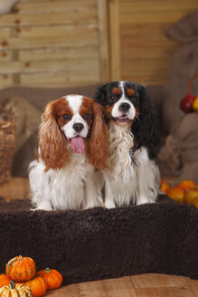 Two Cavalier King Charles Spaniels sitting in an autumnal decorated barn - HTF000550