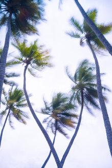 Maledives, Ari Atoll, view to palm tree tops at storm - FL000600