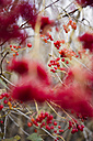 Berries of snowball bush in winter - CZF000184