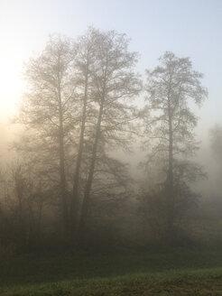 trees in mist at sunrise - HCF000097
