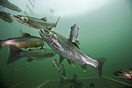 Austria, Styria, Grueblsee, brook trouts and rainbow trouts - ZCF000192