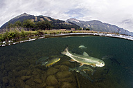 Austria, Styria, Grueblsee, brook trouts and rainbow trouts - ZCF000191