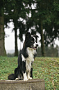 Sitting Border Collie - DWF000201