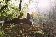 Border Collie lying on forest soil - DWF000205