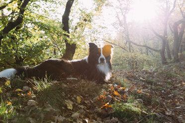 Border Collie lying on forest soil - DWF000205