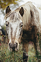 Portrait of a grazing pony - DWF000213