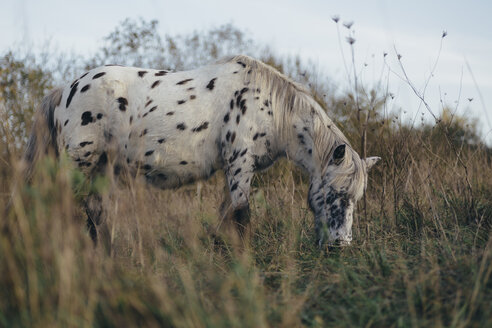 Knabstrupper horse grazing on a pasture - DWF000215