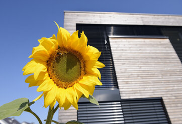 Germany, North Rhine-Westphalia, Dormagen, sunflower in front of modern house facade - GUFF000064
