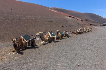 Spain, Lanzarote, Dromedary caravan in Timanfaya National Park - AMF003496